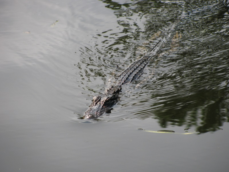 Places to See Alligators on the Florida Gulf Coast