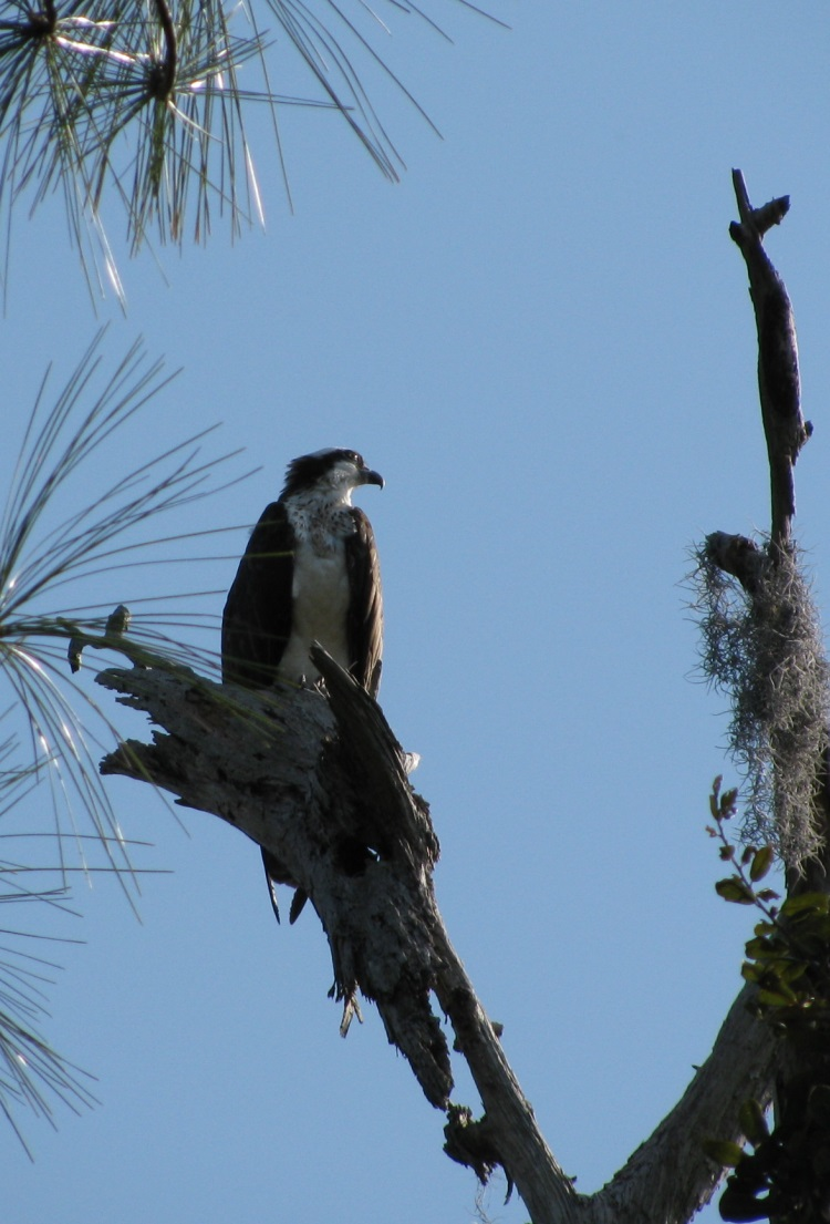 Osprey Nesting Season on the Florida Gulf Coast