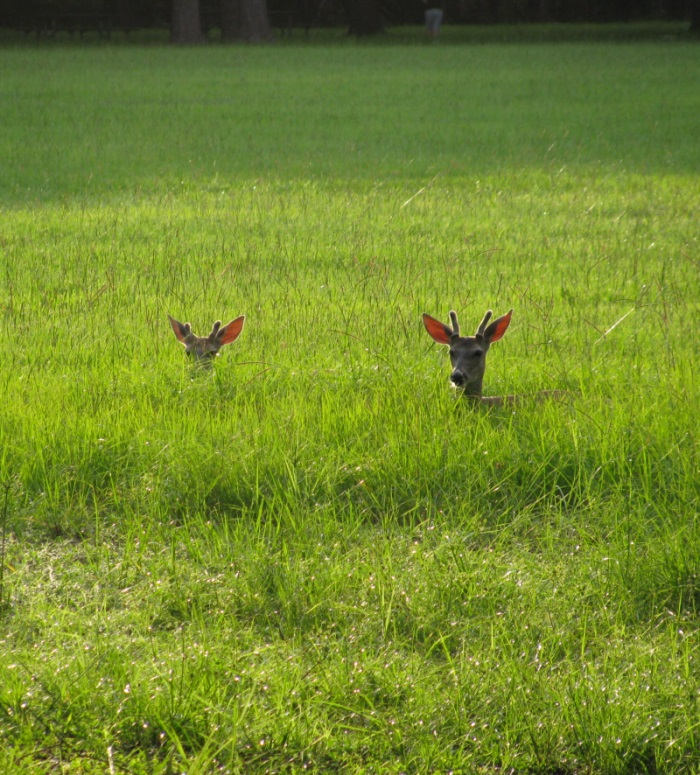Sunset Deer Sightings