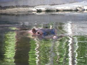 Homosassa Springs hippo