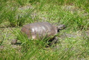 Gopher tortoise on Honeymoon Island