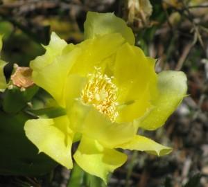 Cactus flower Florida