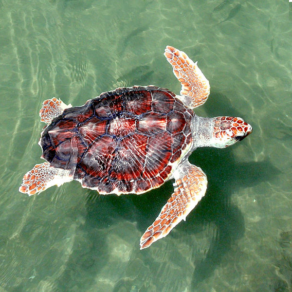 Sea Turtles of the Florida Gulf Coast