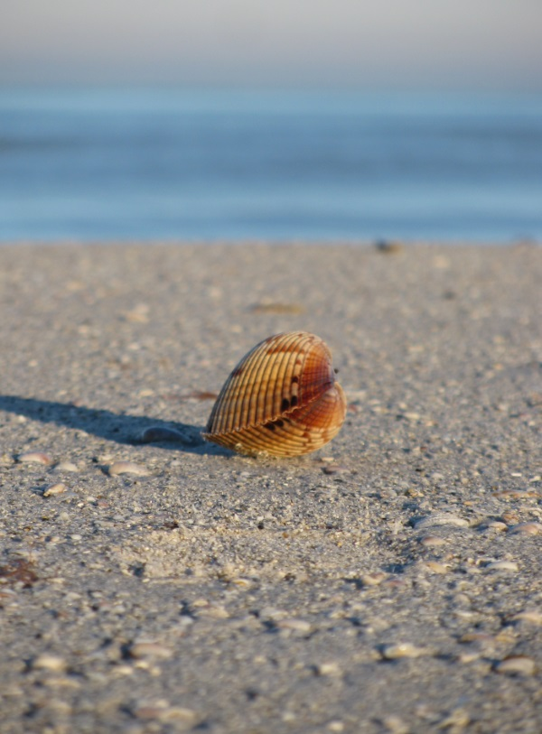 Seashell on Clearwater Beach