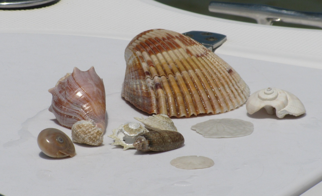 Shell Collecting in the Clearwater St Pete Area