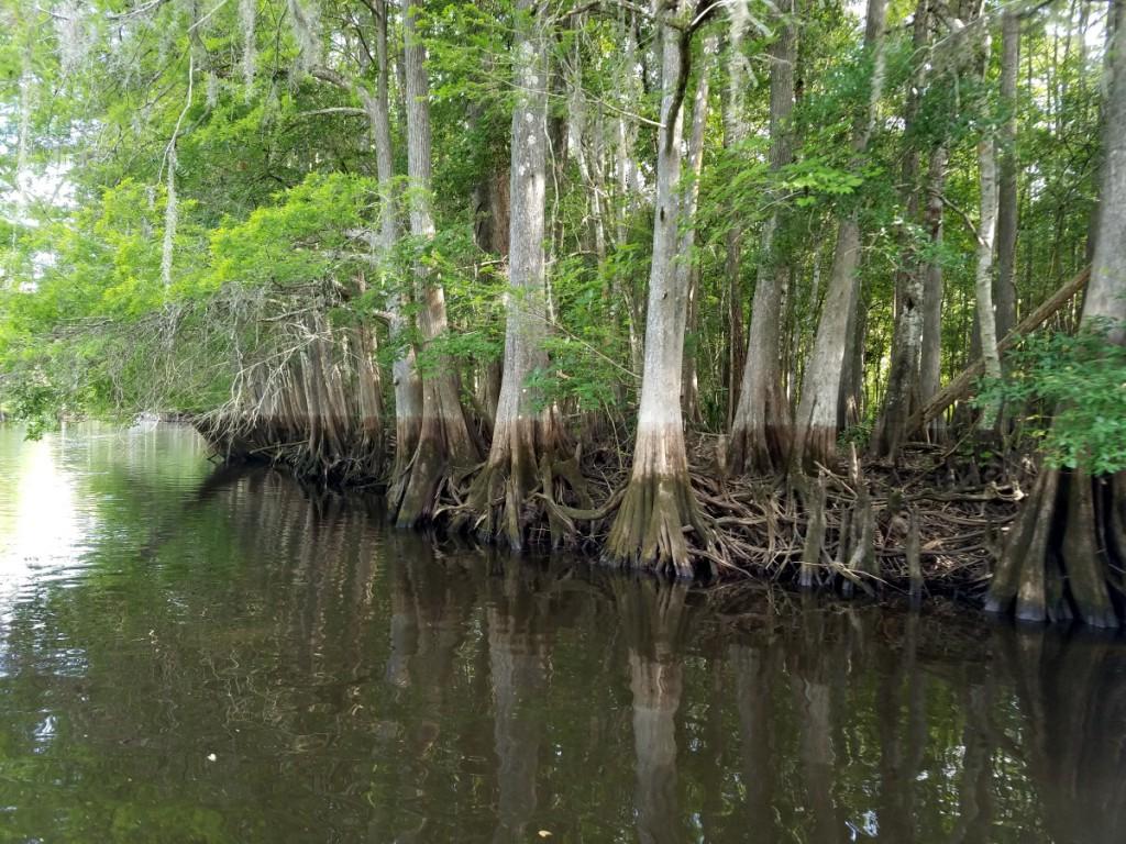 Flood marks on cypress trunks