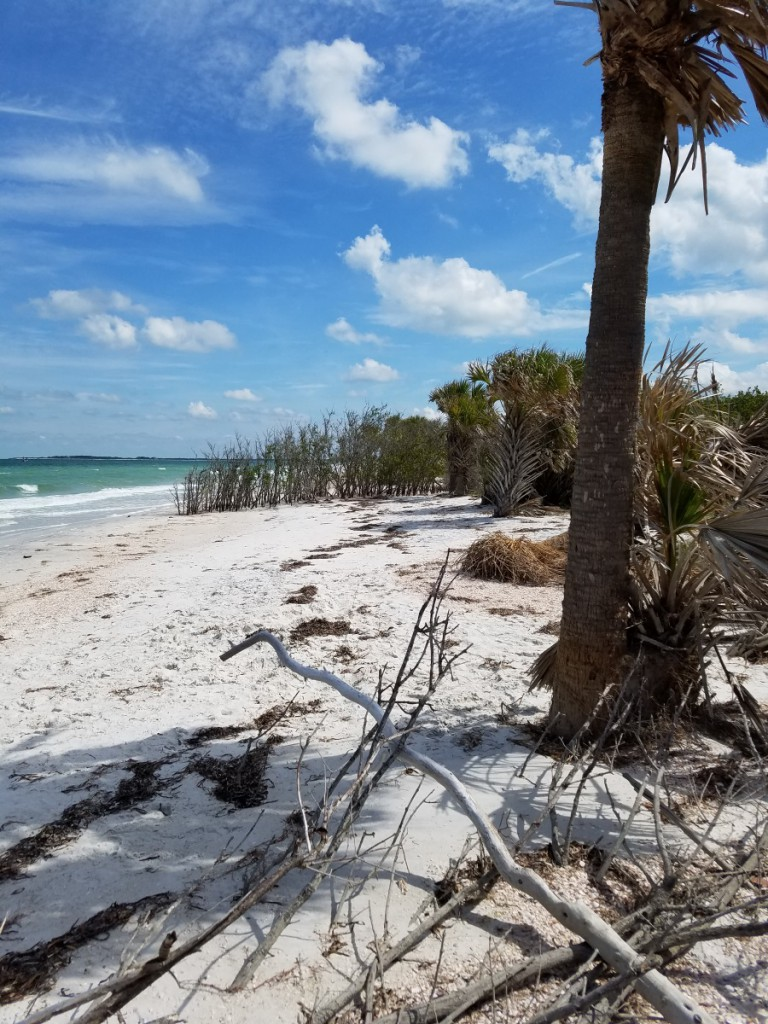Caladesi Island palm tree
