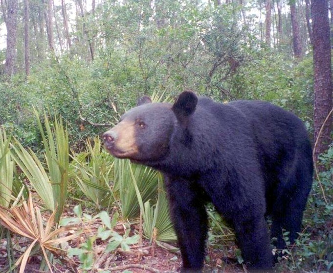 Florida_black_bear