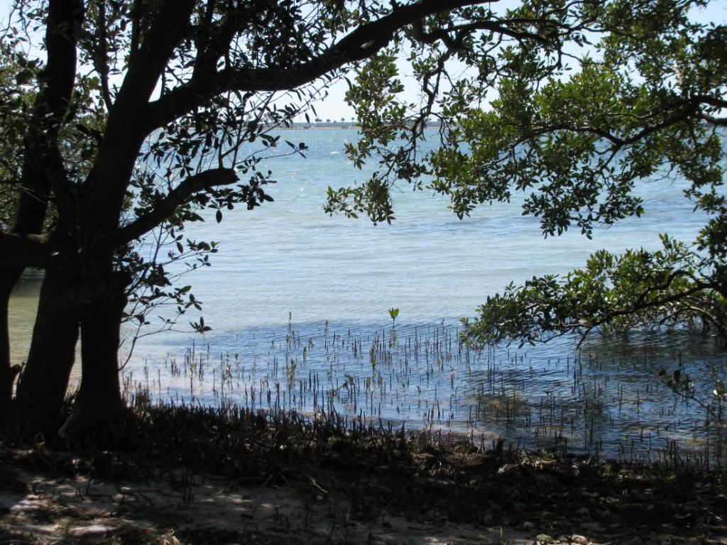 black mangroves on Florida island