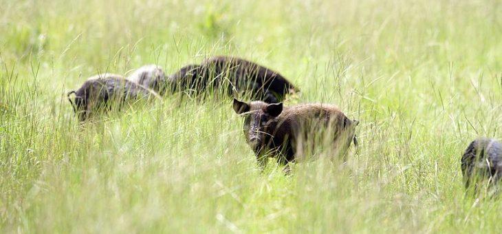 Wild Hogs of Florida