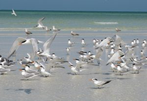 Black Skimmers on Anclote Key