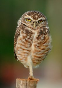 Burrowing Owl-Athene_cunicularia_-near_Goiania,_Goias,_Brazil