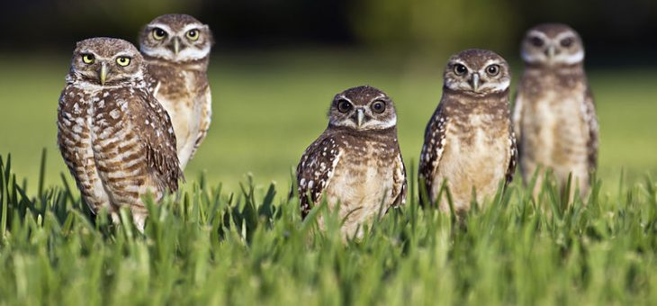 Burrowing Owls of Florida; Who Knew?