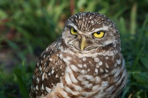 Burrowing_Owl
