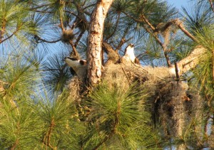 Osprey nest, Palm Harbor2