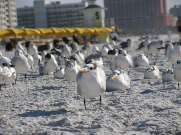 Clearwater Beach seagulls