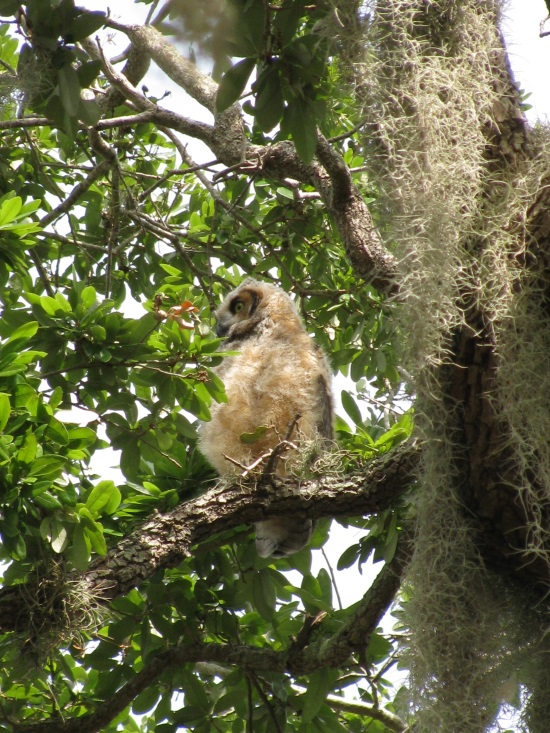 Where to See Great Horned Owls on the Florida Gulf Coast