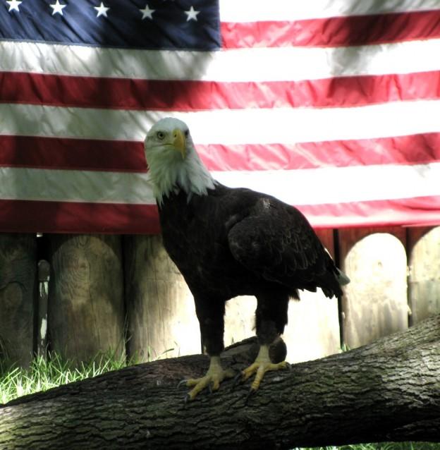 Florida Bald Eagle