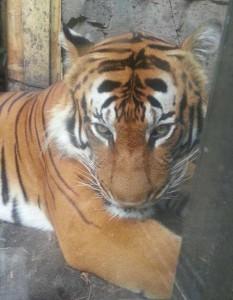 Busch Gardens Tampa Florida tiger