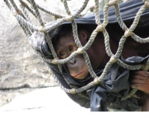 Lowry Park Zoo orangutan