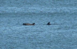 Dolphins swimming in John's Pass