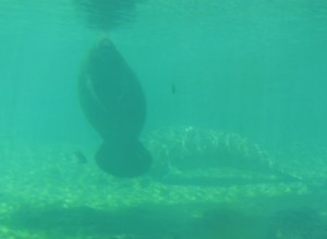 Manatee at Homosassa Springs