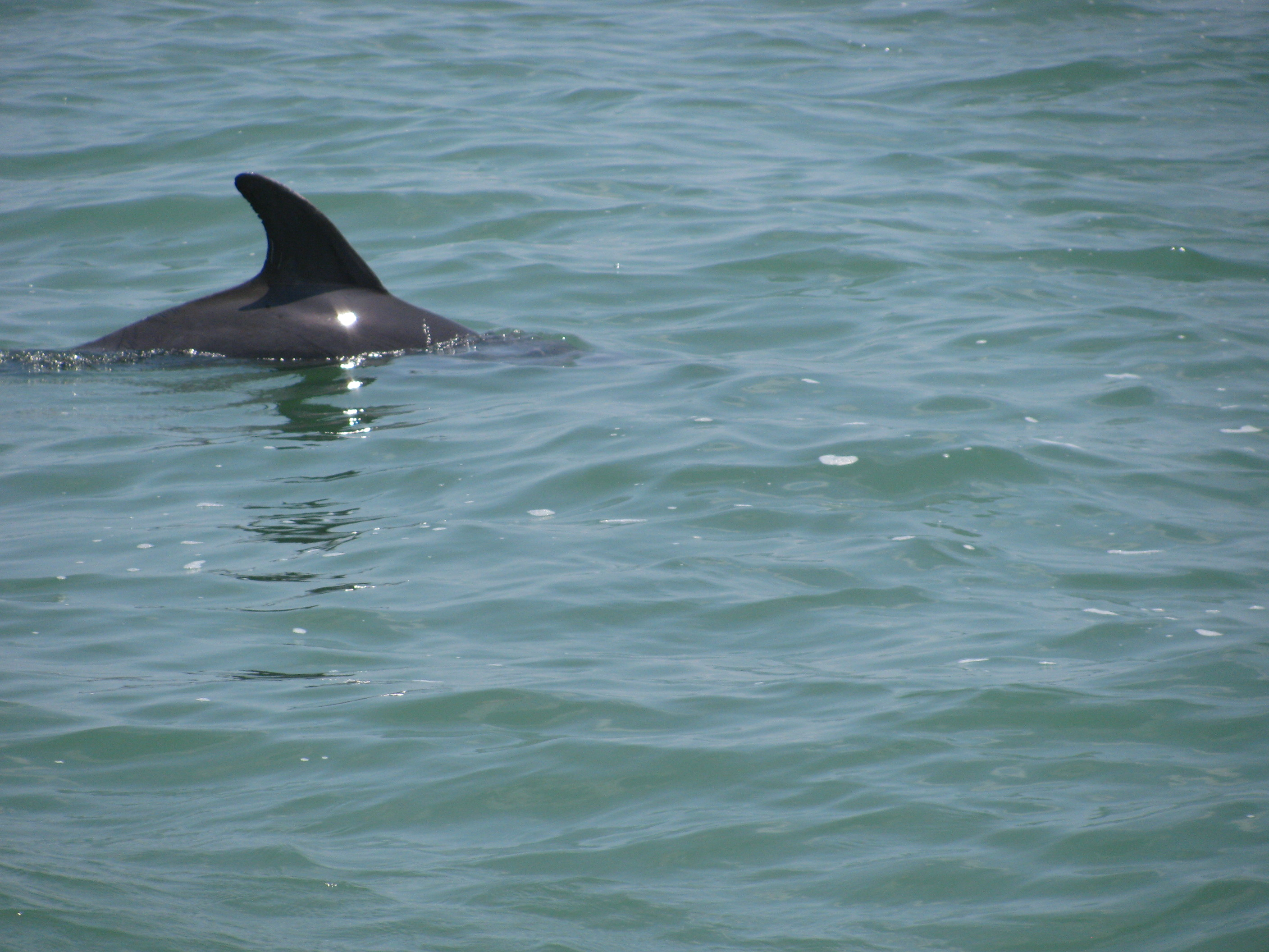 Clearwater Beach dolphin