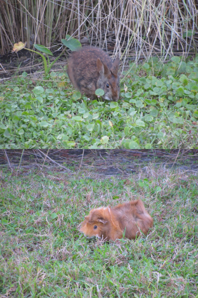 Guinea Pig and Marsh Rabbit
