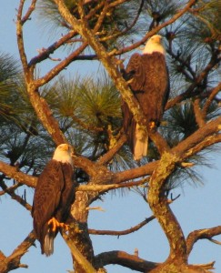 Florida bald eagles