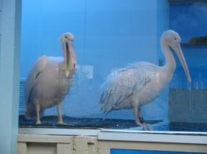 Dolphin Tale pelican