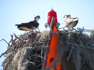 Ospreys on Anclote River