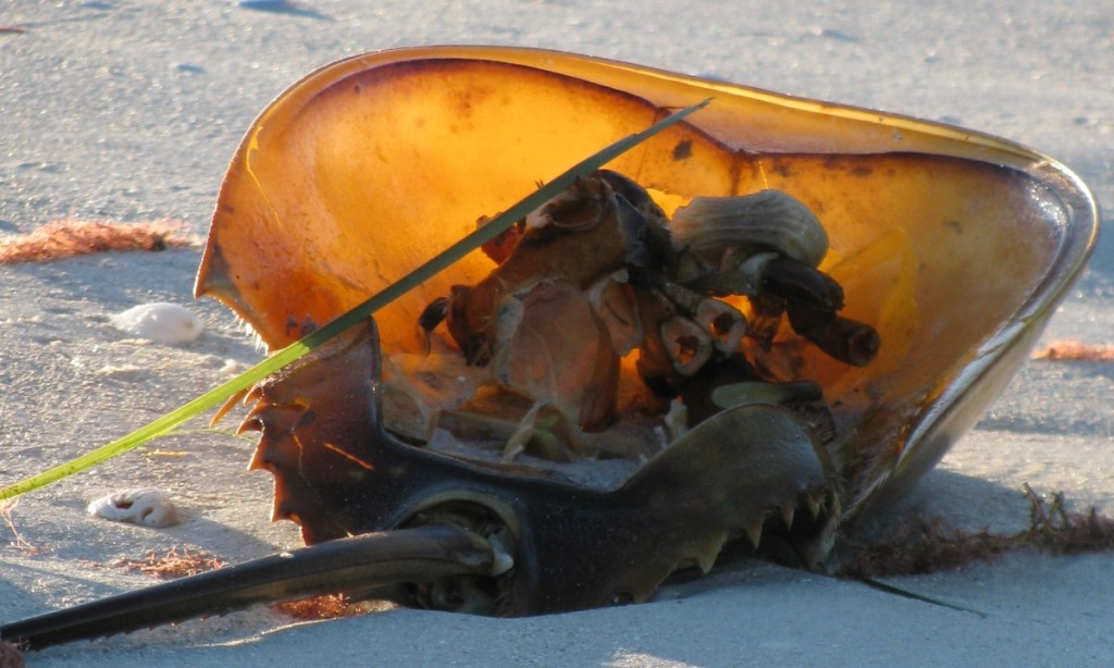 Horsehoe crab on Clearwater Beach
