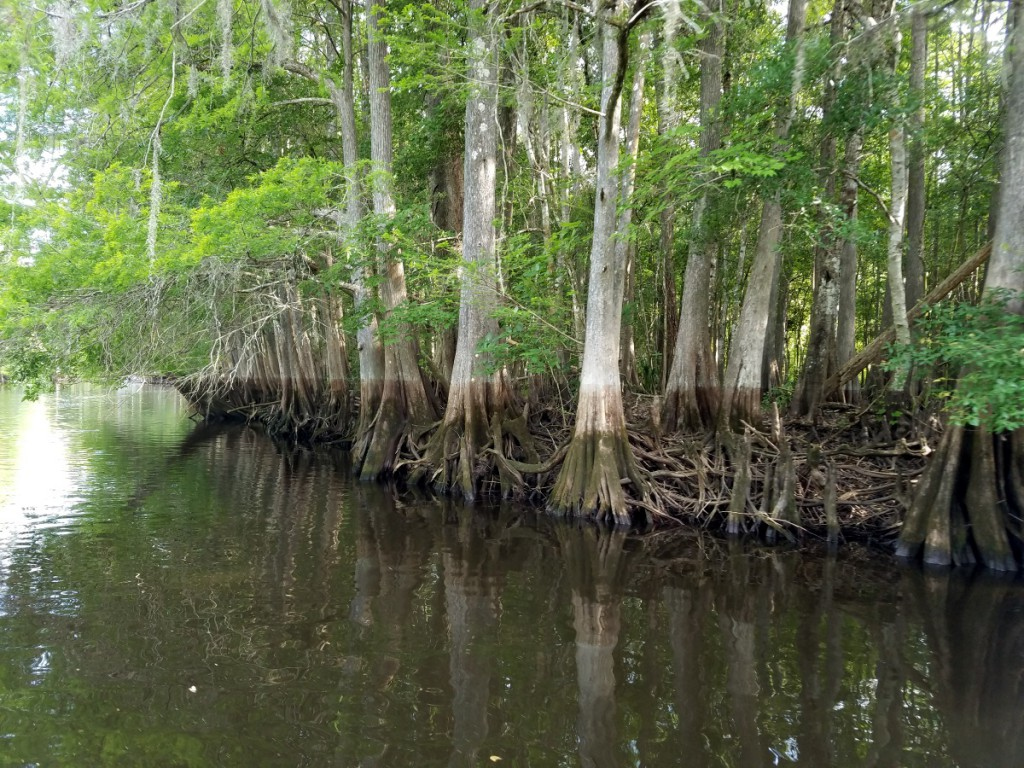 Flood marks on cypress trunks